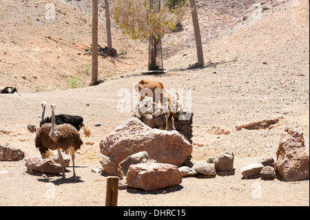 ostrich and goats climbing on rocks in sunshine desert scene - Stock Image