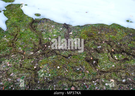 Typical damage made by voles on the lawn while under the snow cover - Stock Image
