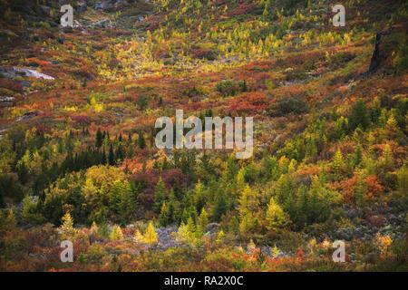 Narssarssuaq Forest - Stock Image