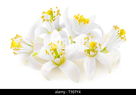 Isolated citrus tree flowers. Fleur d'oranger (orange blossoms) isolated on white background in a pile with clipping path - Stock Image