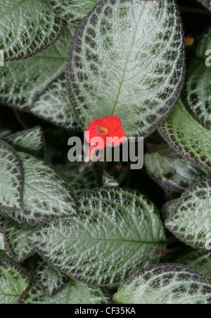 Flame Violet, Episcia cupreata, Gesneriaceae. Caribbean, Mexico, Central Americas, Northern South America, Columbia, - Stock Image