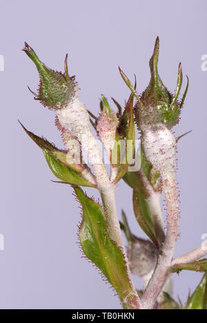 Powdery mildew, Podosphaera pannosa, fungal disease on rose buds, Rosa 'American Pillar', Berkshire, May - Stock Image