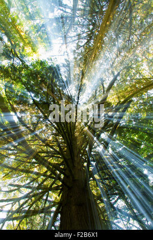 Looking up at the rays of light through the trees. - Stock Image