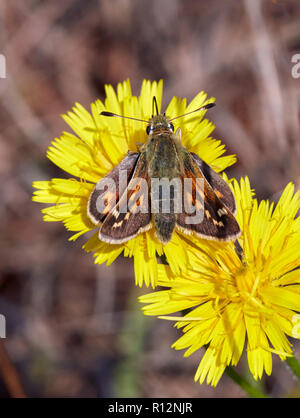 Silver-spotted Skipper female. Denbies Hillside, Ranmore Common, Surrey, England. - Stock Image