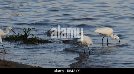 Llittle egrets (Egretta garzetta) search for food in the shallows of Lake Victoria. Entebbe, Uganda. - Stock Image