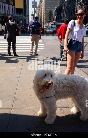A white dog and its smiling owner on 8th Avenue in New York at the corner with West 42nd Street on a very sunny and hot summer day - Stock Image