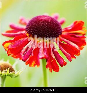Helenium flower summer - Stock Image