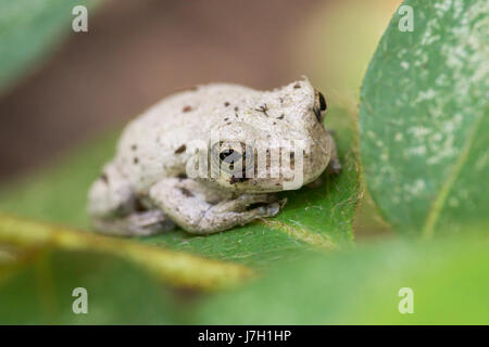 White toad on a leaf in the garden bushes - Stock Image