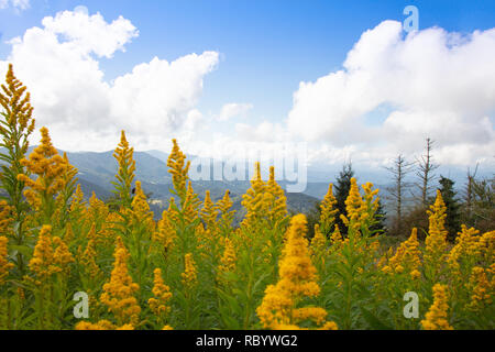 Goldenrod wildflowers in the foreground of a beautiful mountain landscape on Round Bald in the Roan Highlands of North Carolina - Stock Image