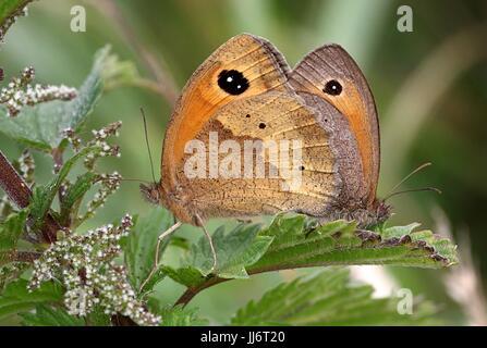 Mating European Meadow Brown butterflies (Maniola jurtina) in closeup. - Stock Image