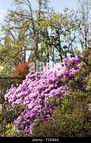 Pink rhododendrons blossoming in Hendricks park in Eugene, Oregon, USA. - Stock Image