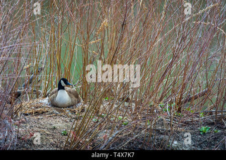 Female Canada Goose (Branta canadensis) sitting on her nest among willows and surrounded by water of creek, Castle Rock Colorado US. Photo taken April - Stock Image