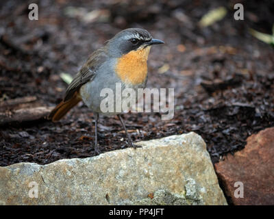 The Cape robin-chat (Cossypha caffra) in Kirstenbosch National Botanical Garden at the foot of Table Mountain, Cape Town, South Africa - Stock Image
