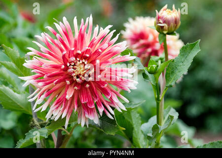 Close-up of Dinner Plate Dahlia Akita - Large Red Dinnerplate Dahlia Tipped with White - Stock Image