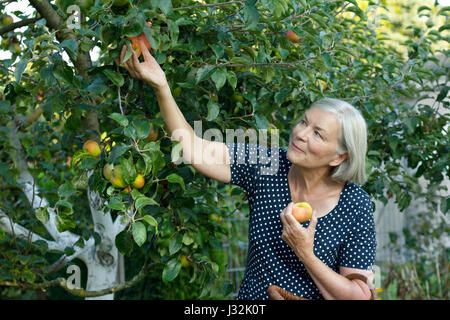 Smiling senior woman in a blue polka-dotted dress  picking ripe apples of a tree in her garden yard, active and - Stock Image