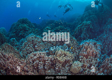 Scuba divers explore mountainous coral reef formations in the Southern Red Sea. - Stock Image