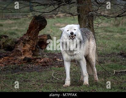 Alpha female grey (gray) wolf(Canis lupus), aka thetimber wolf orwestern wolf. Acaninenative - Stock Image