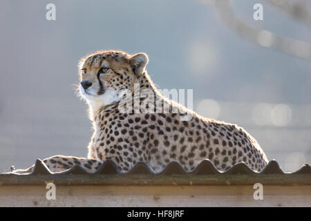 Whipsnade Zoo, Dunstable, UK. 29th December 2016.  A Cheetah sits atop its shelter to soak up the warmth from the - Stock Image