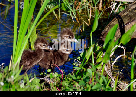 Limpkin chicks following their mom. - Stock Image