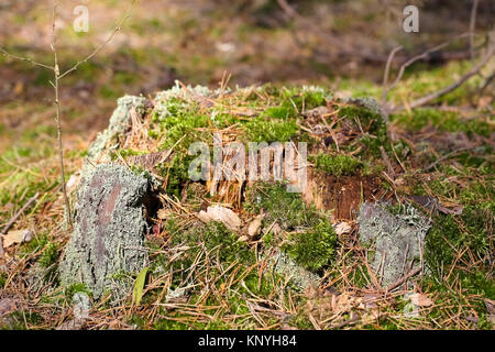 Stump of the trunk that remains after the old tree and it is overgrown with moss. It is in a forest in Poland. - Stock Image