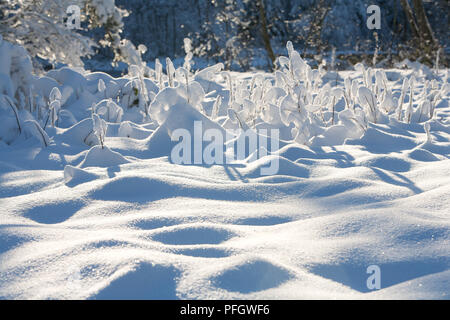 Fresh snow on the branches of bushes in winter - Stock Image