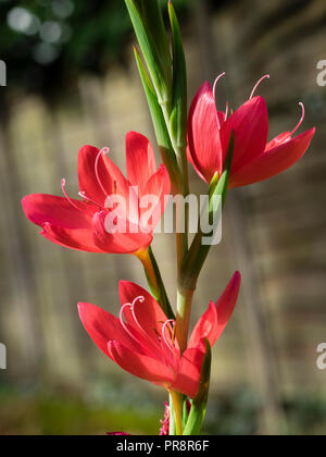 Flowers in the spike of the autumn blooming bulbous perennial, Hesperantha coccinea 'Oregon Sunset' - Stock Image