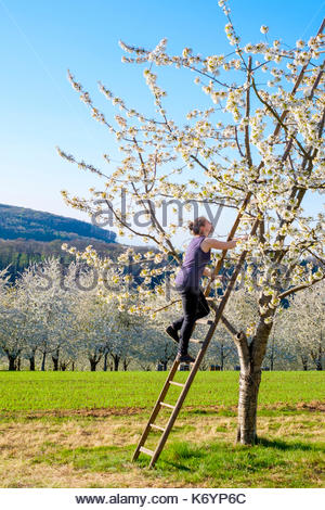 Germany, Baden-Württemberg, Schliengen. A young woman climbs a ladder in a blossoming cherry tree in the Eggenertal Valley in early spring. - Stock Image