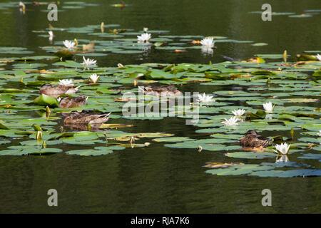 Seerosen im Finkenmoorteich, Wernerwald, Cuxhaven-Sahlenburg, Nordseeheilbad Cuxhaven, Niedersachsen, Deutschland, Europa - Stock Image