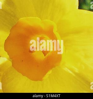 Macro daffodil stamen - Stock Image