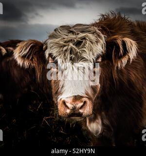 A close up portrait of a hairy highland cow showing its head, eyes and ears in a farm field - Stock Image