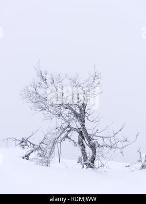 Bare tree in snow - Stock Image