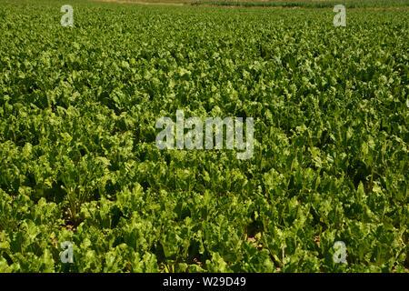 leaves of mangelwurzel on field in bavaria, beta vulgaris leaves backdrop - Stock Image