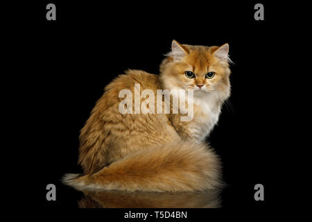 Angry British Red Cat with adorable Furry tail, angry looking back on Isolated Black Background - Stock Image