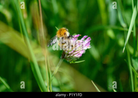 Common carder bee feeding from a pink clover flower back view - Stock Image