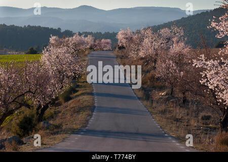 almond trees in blossom nr Elche de la Sierra; Albacete; Castilla la Mancha, Spain - Stock Image