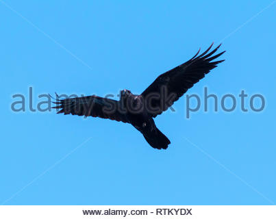 Common Raven, Corvus corax, flying in Arizona USA - Stock Image