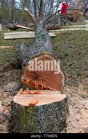 An old cherry tree just cut down by a chainsaw lies along the ground on a winter's day - Stock Image
