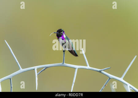 Male Costa's Hummingbird (Calypte costae) perched on graythorn (Ziziphus obtusifolia), flicking his tongue out. Tucson - Stock Image