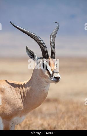 Tanzania, Ngorongoro. A mature male Grant's Gazelle. - Stock Image