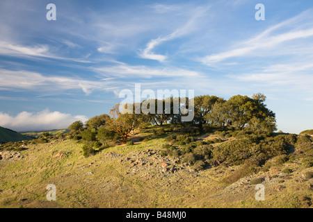 Madrone tree on Azalea Hill Trail along the Fairfax Bolinas Road Marin County California USA - Stock Image