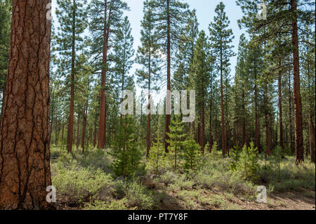 The benefits of logging can be seen in this stand of Ponderosa Pine in the Deschutes National Forest. - Stock Image