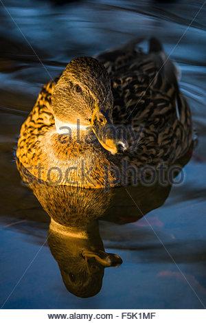 Mallard - wild duck - Anas platyrhynchos - female - Stock Image