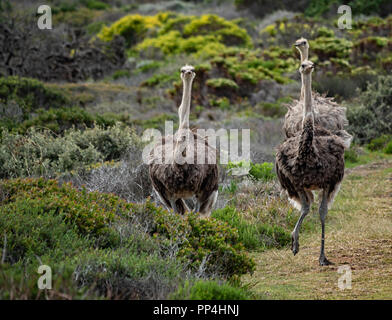 African ostriches within the Cape of Good Hope National Park, South Africa - Stock Image