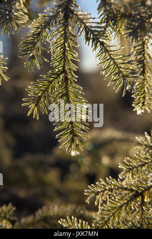 Frost covered dew drops are glittering on fir twigs on an autumn morning. - Stock Image