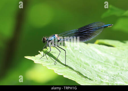 Detailed, macro, side view close up of a wild UK damselfly insect, isolated outdoors in the sunshine, perched on a single, green leaf. - Stock Image