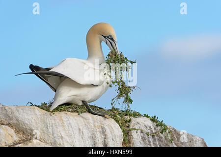 Northern gannet (Morus bassanus)  adult with nest material at breeding colony. Great Saltee island, co Wexford, - Stock Image