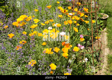 Yellow flowers of Californian poppy, Eschscholzia californica, mixed with catmint growing in garden, Suffolk, England, UK - Stock Image