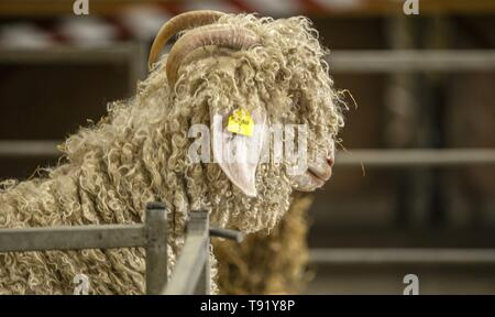 Exeter, Devon, UK. 16th May 2019 An Angora goat looks out of his pen at the Devon County Show, Westpoint Showground, Exeter Credit: Photo Central/Alamy Live News - Stock Image