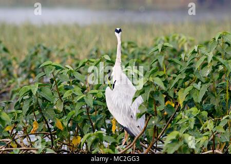 Grey Heron Ardea cinerea - Stock Image