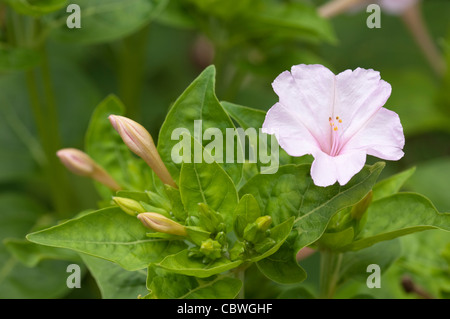 Four O´Clock Plant, Marvel Of Peru (Mirabilis jalapa), flowering. - Stock Image